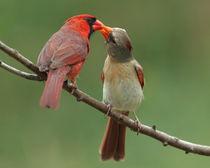 Cardinal Courtship (Northern Cardinals) von Howard Cheek
