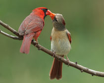 Cardinal Courtship (Northern Cardinals) by Howard Cheek