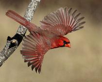 Flamboyant Flyboy (Cardinal) von Howard Cheek