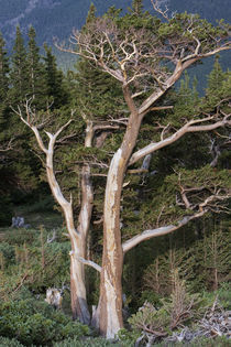 Bristlecone pine von JP Bruce