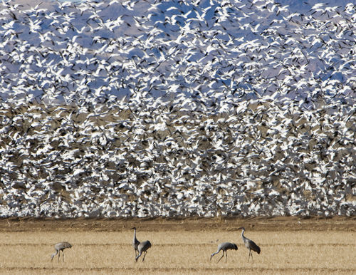 Cranes-and-geese-9531