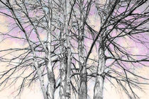 Winter maples by Susan Isakson