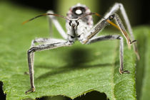 Assassin Bug by Jeremiah Tamagna-darr