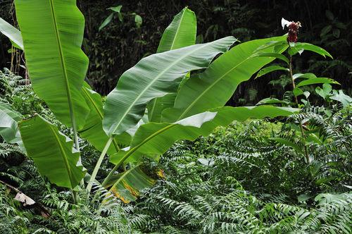 Banana-tree-leave-garden-hawaii-rm-haw-d319203