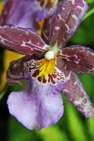 Flower-hawaii-orchid-purple-rm-haw-d319221