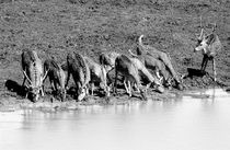 Deer in Yala National Park, Sri Lanka by Alex Soh