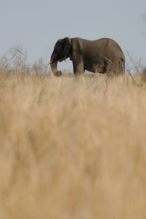 African Elephant (Loxodonta africana) in the savannah, South Africa, Kruger National Park von Sami Sarkis Photography