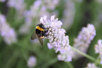 Bumblebee on lavender by Katia Borges