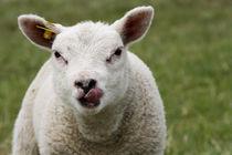Baby lamb by Katia Borges