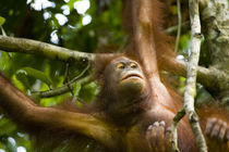 Sabah Malaysia, Borneo, Orang Utan von Jason Friend