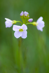 England, Northumberland, Cuckoo Flower. by Jason Friend