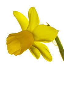 Yellow Daffodil flower photographed against a white background. by Jason Friend