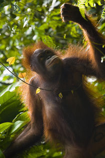 Sabah Malaysia, Borneo, Orang Utan by Jason Friend