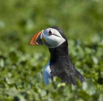 England, Northumberland, Farne Islands. by Jason Friend