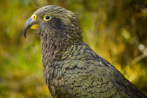 Kea, Fiordland National Park, New Zealand. by Jason Friend