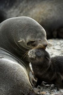 Fur Seal Pup and Mother by Wolfgang Kaehler