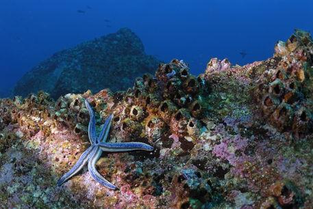 Blue-starfish-underwater-galapagos-rm-glp-uwd4759