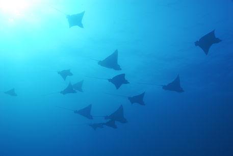 Eagle-rays-underwater-galapagos-rm-glp-uwd4954