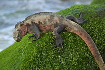 Marine Iguana (Amblyrhynchus cristatus) on rock covered with green seaweed - Ecuador, Galapagos Archipelago, Espanola Island. by Sami Sarkis Photography