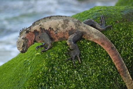 Marine-iguana-rock-rm-glp-fna1226