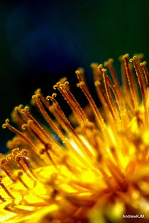 Dandelion by Andrew Martin