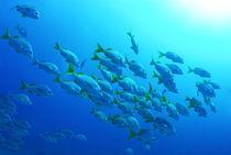 Fish-school-burrito-grunt-underwater-rm-glp-uwd4765