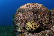 Chocolate Chip Star (Nidorellia armata), underwater view, Ecuador, Galapagos Archipelago, Espanola Island von Sami Sarkis Photography