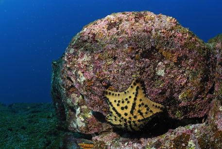 Chocolate-chip-star-starfish-underwater-rm-glp-uwd4753