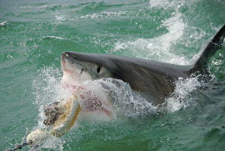 Great-white-shark-alrf-saa-fna6920