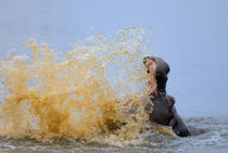 Hippo splashing water (Hippopotamus amphibius), Kruger National Park, South Africa by Sami Sarkis Photography
