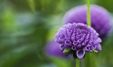 Purple-dahlia-300-ppi