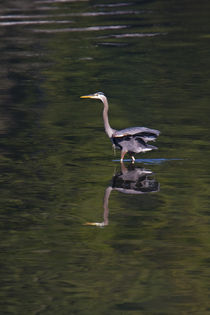 Heron wading in dark, green,emerld,wavy water by beau purvis