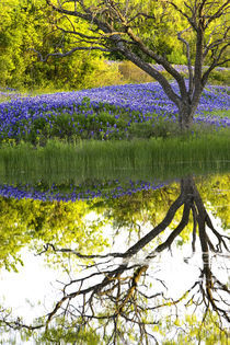 Bluebonnets & Reflections 1 by beau purvis