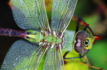 Green Darner Dragonfly von Panoramic Images