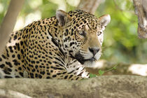 Close-up of a Jaguar (Panthera onca)