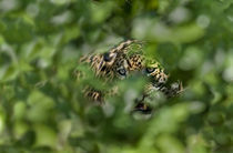 Jaguar (Panthera onca) behind leaves by Panoramic Images