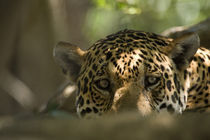 Close-up of a Jaguar (Panthera onca) von Panoramic Images