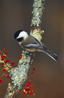 Black-capped chickadee bird on tree branch with berries, Michigan, USA. von Panoramic Images