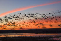 Silhouetted Snow Geese In Flight von Panoramic Images