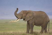 Side profile of an African elephant standing in a field by Panoramic Images