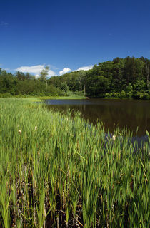 Cattails (Typha latifolia) growing beside pond, New York, USA. by Panoramic Images