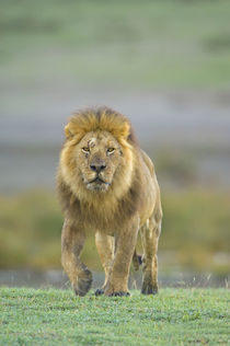Portrait of a Lion walking in a field by Panoramic Images