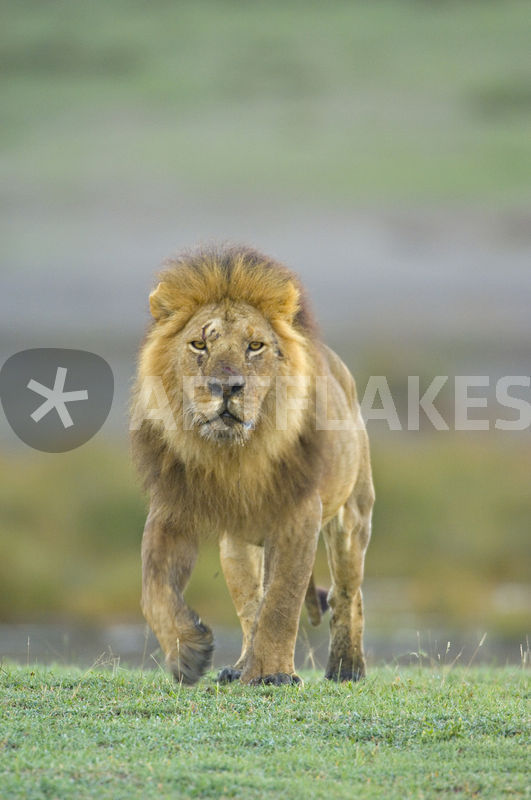 portrait of a lion walking in a field picture art prints and