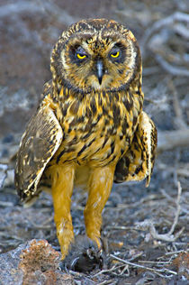 Close-up of a Short-Eared owl (Asio flammeus) with a Storm petrel in its claws by Panoramic Images