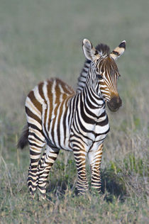 Young zebra standing in a field von Panoramic Images