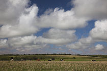 Cattle grazing in a farm von Panoramic Images