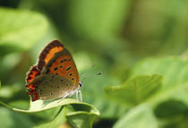 Butterfly perching on a leaf by Panoramic Images