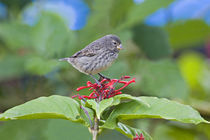 Close-up of a Small Ground-finch (Geospiza fuliginosa) perching on a plant