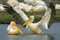 Two Great white pelicans wading in a lake von Panoramic Images