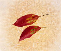 Two red leaves on pink background von Panoramic Images